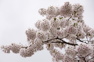 前森公園 桜4.28.2.jpg
