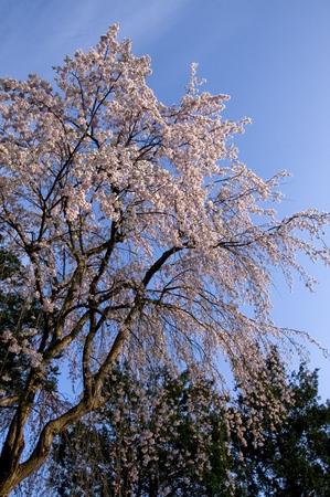 湯沢高校前 桜4.29.jpg