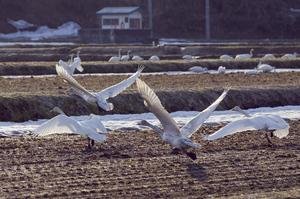 白鳥2014.4.13.jpg