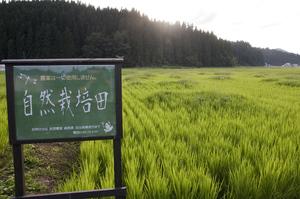 自然栽培田 1.jpg