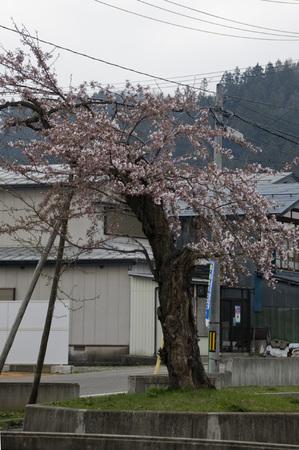 裁判所前 桜2014.4.23.jpg