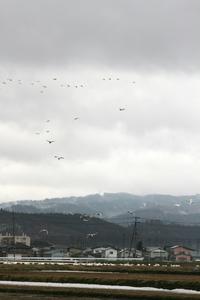 白鳥3.jpg