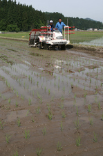 自然米田植え1.jpg