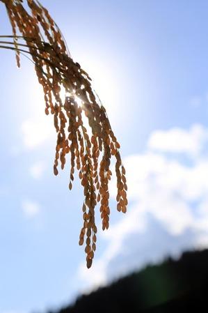 稲刈り-3.jpg