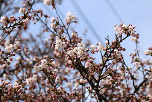 前森公園 桜2015.4.15.1.jpg