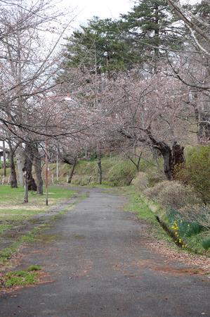 前森公園 桜2015.4.15.5.jpg