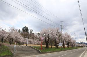 前森公園 桜2016. .jpg