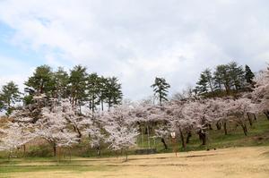 前森公園 桜2016. 3.jpg