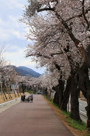前森公園 桜2016. 4.jpg