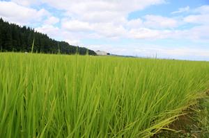 自然栽培米 1.jpg
