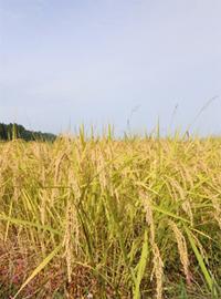 自然栽培米2.jpg